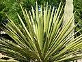 Yucca faxoniana 2.jpg