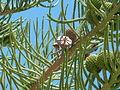 Zapfen der Zimmertanne (Araucaria heterophylla), auch Norfolk-Tanne genannt.JPG