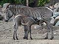 Zebra jong in Dierenpark Amersfoort, photo 3.JPG