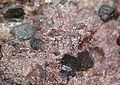 Zincite-Manganosite-Sonolite-21568.jpg