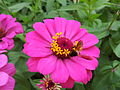 Zinnia from Lalbagh Flowershow - August 2012 101304.jpg