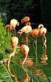 Zoo de Vincennes, Juin 2007 - Flamants roses.jpg