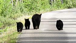 Zwarte beren.jpg