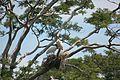 Zwei Jabirus im großen Nest.jpg