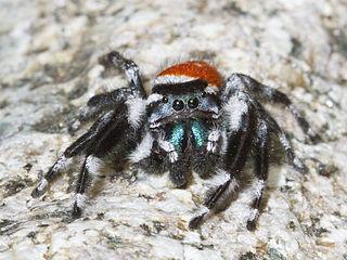 <i>Phidippus carneus</i> species of arachnid