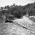 """""""Koš"""" (pleten iz bak in bradovik) za gnoj, zemljo, sirk (koruzo), vozita ga dva vola, Senik 1953.jpg"""