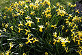 'Narcissus Wisley' at Capel Manor Gardens Enfield London England.jpg