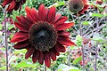 'ProCut Red' Sunflower IMG-5601.jpg