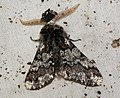 (1930) Oak Beauty (Biston strataria) (4441577117).jpg