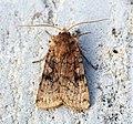 (2133) Six-striped Rustic (Xestia sexstrigata) - Flickr - Bennyboymothman.jpg
