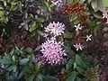 (Ixora coccinea) dwarf flowers at Shivaji park 03.JPG