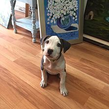 A female pit bull puppy at an art gallery in Quito.