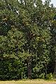 Čejkovický dub.jpg