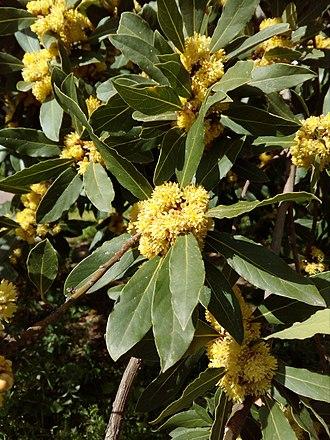 Laurus nobilis - Laurus nobilis bloomed
