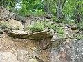 Авринія скельна в ур. Шершнянська стінка.jpg
