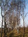 Бярозавая сцяжынка - panoramio.jpg