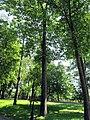 Гомель. Парк. Дуб красный. Фото 06.jpg