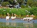 Дунайський біосферний заповідник - пташине Ельдорадо.jpg