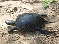 Европейская болотная черепаха.12.jpg