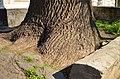 Красень дуб по вулиця Архітектора Артинова, 24 у Вінниці. Фото 2.jpg