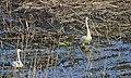 Мыли гуси лапки в луже у канавки) (16692656572).jpg