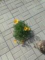 Растение рода Эшшольция с кошкой. В России, выросло в тротуарной плитке.jpg