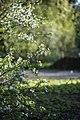 Цветущая вишня в Ботаническом саду.jpg