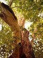درخت رحمت - panoramio.jpg