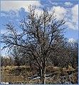 زمستان. باغهای اطراف مراغه - panoramio (2).jpg