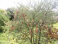 गांव डहरा पोस्ट मालूताना के एक बबूल के पेड़ पर लटके हुए बया पक्षी के घोंसले.jpg