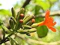 คอร์เดีย (Geranium tree ) Cordia debestina L. 10.jpg