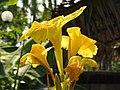 พุทธรักษา Canna indica L. วงศ์ Cannaceae (15).jpg
