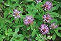 სამყურა ტყის Trifolium medium.JPG