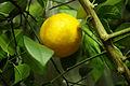レモン(木になっている状態).jpg