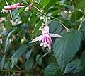 倒掛金鐘 Fuchsia First Success -維也納 Schoenbrunn Botanical Garden, Vienna- (28033775065).jpg