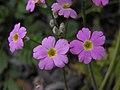 四季報春 Primula obconica -北京植物園 Beijing Botanical Garden, China- (9198133633).jpg