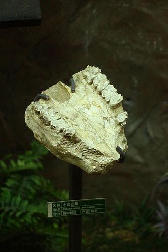 Palaeotragus - P. microdon fossil
