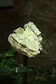 小齿古麟 Palaeotragus microdon.jpg