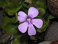 捕蟲堇 Pinguicula Weser -香港動植物公園 Hong Kong Botanical Garden- (9200910760).jpg