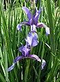 擬鳶尾 Iris spuria -維也納大學植物園 Vienna University Botanical Garden- (28970781391).jpg