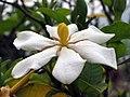 梔子花 Gardenia jasminoides -香港青衣海濱公園 Tsing Yi Promenade, Hong Kong- (9227119745).jpg