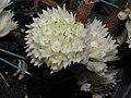 石斛蘭 Dendrobium capituliflorum x purpureum -香港沙田洋蘭展 Shatin Orchid Show, Hong Kong- (9229777582).jpg