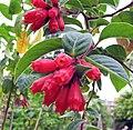 紅花夜香樹 Cestrum newellii -比利時 Leuven Botanical Garden, Belgium- (9207627584).jpg