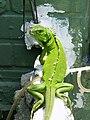 綠鬣蜥 Iguana iguana - panoramio (3).jpg
