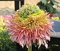 菊花-如意 Chrysanthemum morifolium 'Wish Granter' -中山小欖菊花會 Xiaolan Chrysanthemum Show, China- (11961610094).jpg