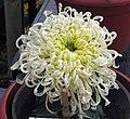 菊花-小綠雲 Chrysanthemum morifolium 'Small Green Cloud' -中山小欖菊花會 Xiaolan Chrysanthemum Show, China- (11961165155).jpg