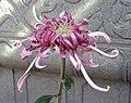 菊花-桂花春 Chrysanthemum morifolium 'Osmanthus Spring' -香港圓玄學院 Hong Kong Yuen Yuen Institute- (11980836966).jpg