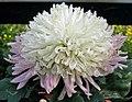 菊花-綠寶石 Chrysanthemum morifolium 'Emerald' -中山小欖菊花會 Xiaolan Chrysanthemum Show, China- (12049304445).jpg
