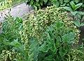藜 Chenopodium album (?) -波蘭 Krakow Jagiellonian University Botanic Garden, Poland- (36467221410).jpg