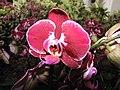 蝴蝶蘭 Phalaenopsis Blood Magic -荷蘭園藝展 Venlo Floriade, Holland- (9207603658).jpg